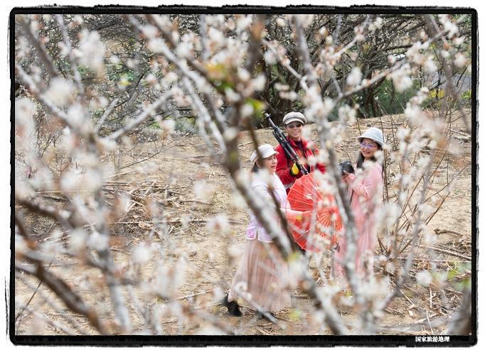 5、2021年1月13日,摄影爱好者在苍梧县狮寨镇古东村欣赏雪白的青梅花同时为游客拍摄(何华文)