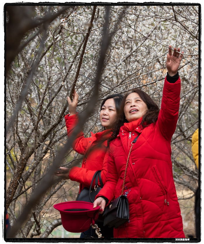 6、2021年1月13日,游客在苍梧县狮寨镇古东村欣赏雪白的青梅花。(何华文)