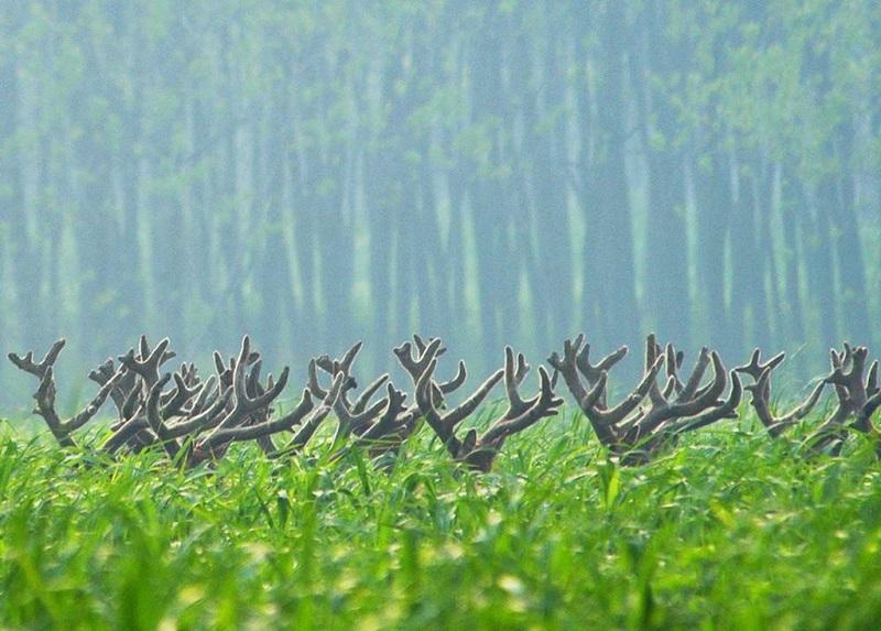 盐城大丰麋鹿保护区