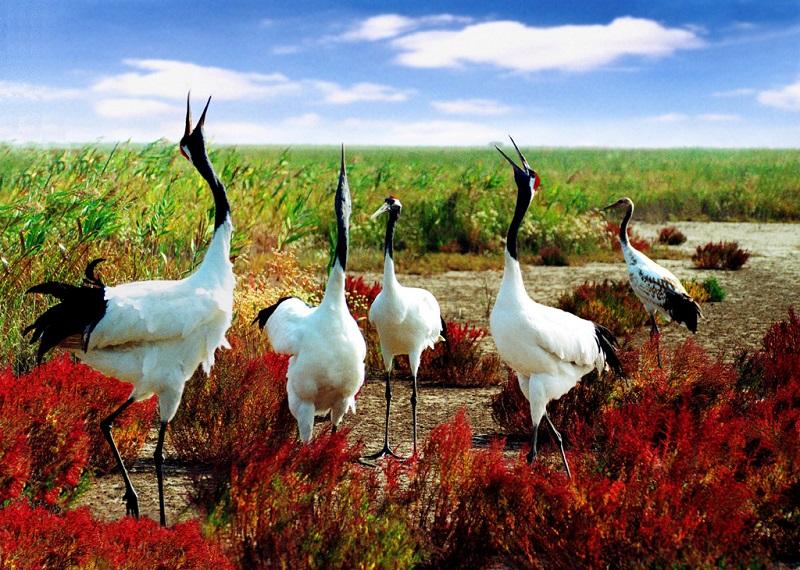 盐城丹顶鹤保护区