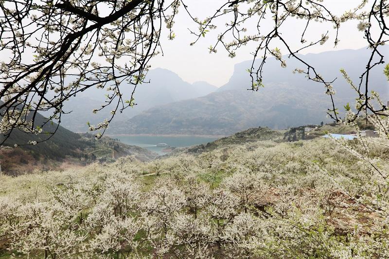 图14:三峡李院所在邻村柑园脆李花海   唐探峰摄