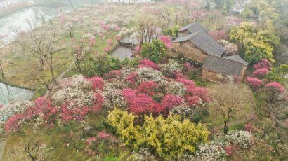 浙江杭州西溪湿地梅花进入盛花期,花海景色迷人