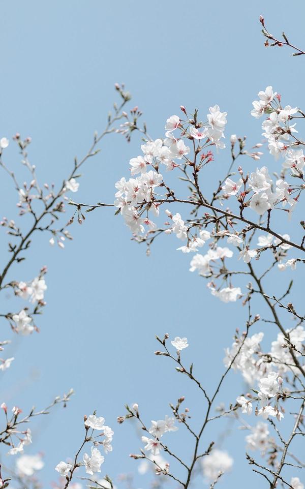 白色樱花妆扮春色