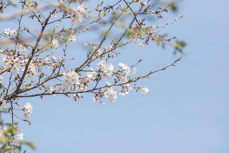 待到樱花灿烂时
