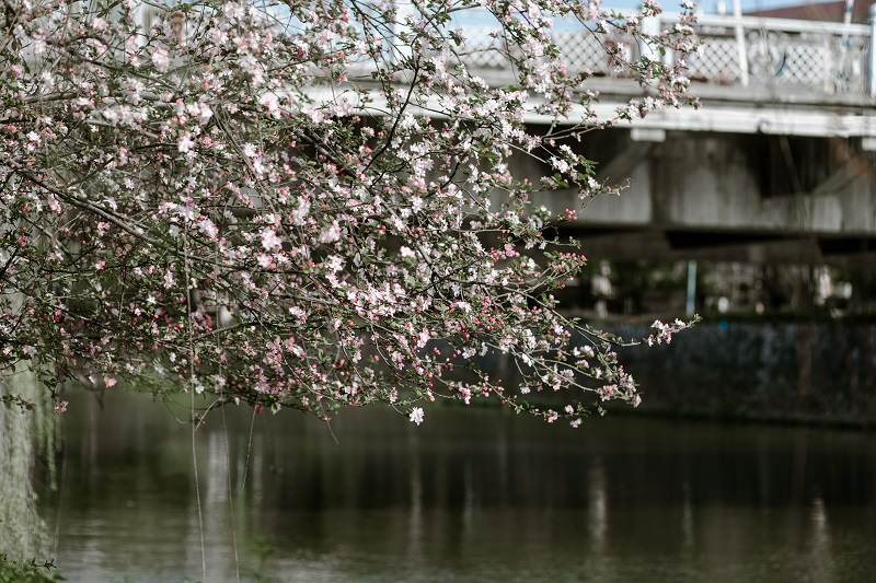 江边的樱花怒放