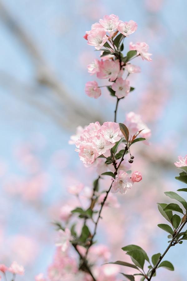 绽放樱花巧争春