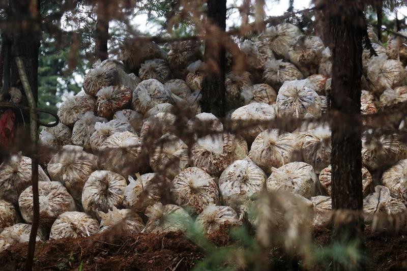 2021年3月28日,堆放在杉树林里的林下灵芝菌包