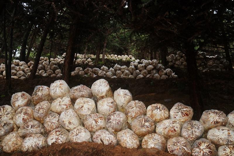 2021年3月28日,堆放在杉树林里的林下灵芝菌包1
