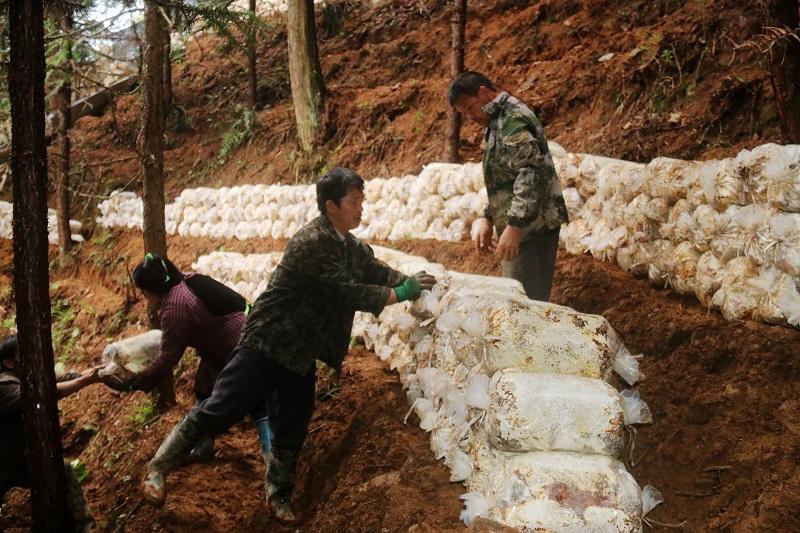 2021年3月28日,贵州省从江县加勉乡党扭村种植户在搬运林下灵芝菌包1
