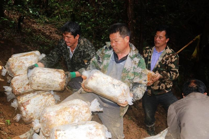 2021年3月28日,贵州省从江县加勉乡党扭村种植户在搬运林下灵芝菌包2