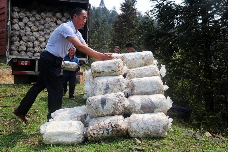 2021年4月1日,林下灵芝技术员在指导农户卸灵芝菌包