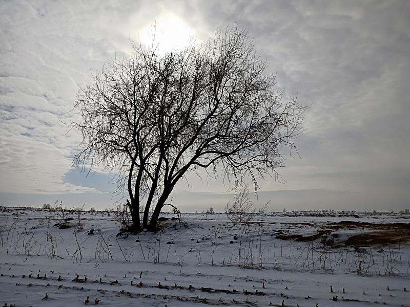 一颗沙枣树