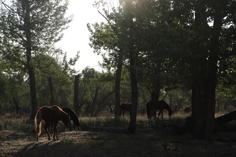 林间觅食的骏马