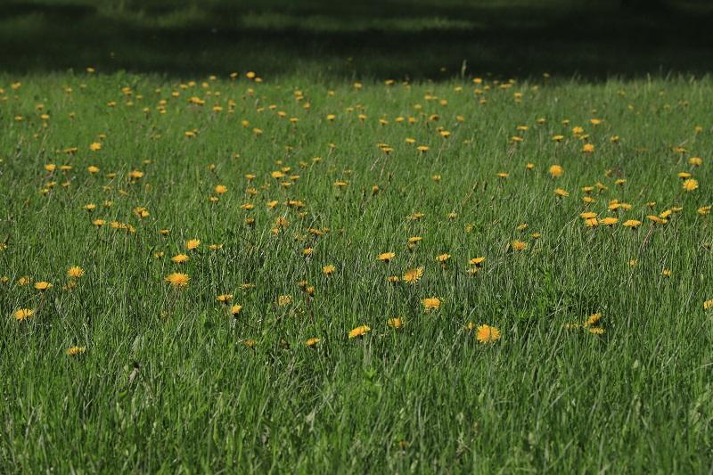 绿地上星星点点的黄花