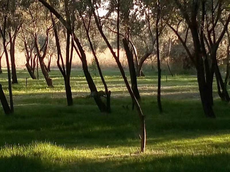 集中连片种植的沙枣树