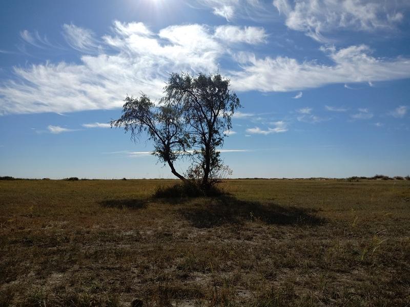 一棵湿地中的沙枣树