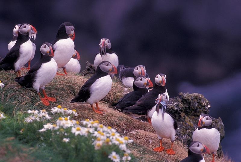 冰岛,大西洋角嘴海雀