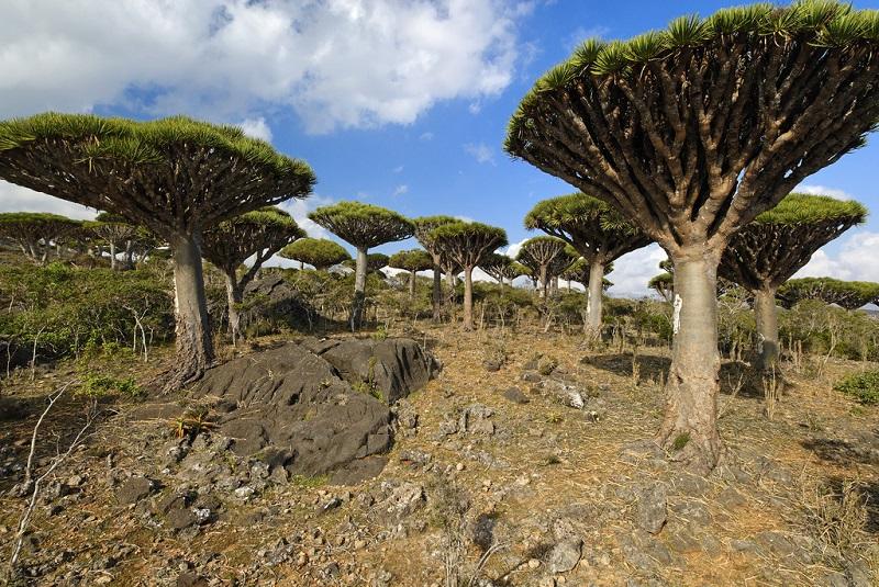 也门索科特拉岛的龙血树