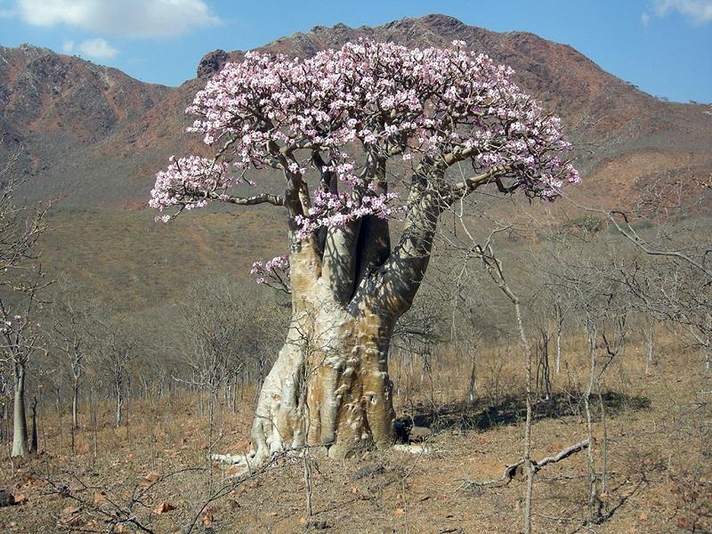 也门索科特拉岛植物像外星生物