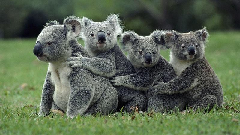 澳洲国宝-考拉