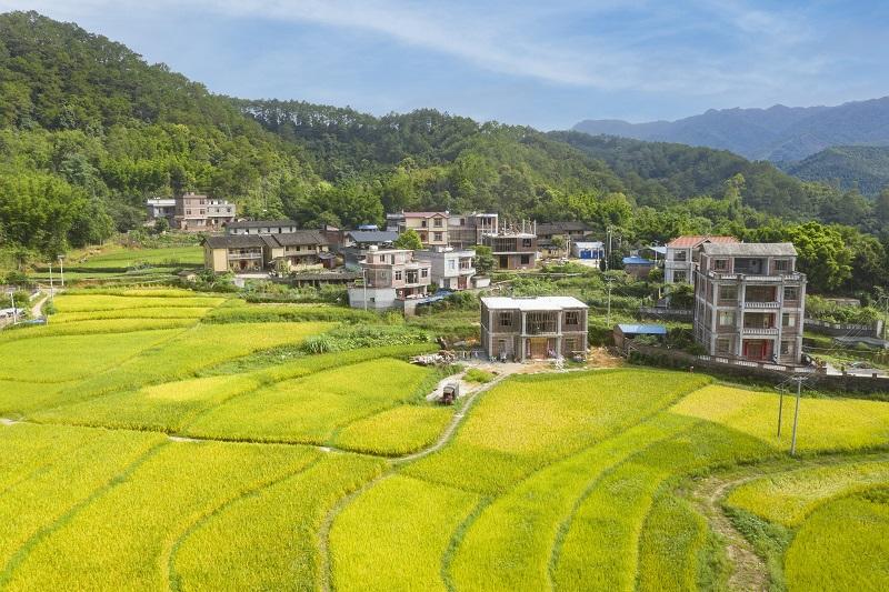 2、2021年7月3日,俯瞰广西梧州市长洲区倒水镇三贵村一带,金黄的稻田与青山和民房相互映衬,构成一幅美丽的夏日田园画卷,呈现出一片丰收的景象。