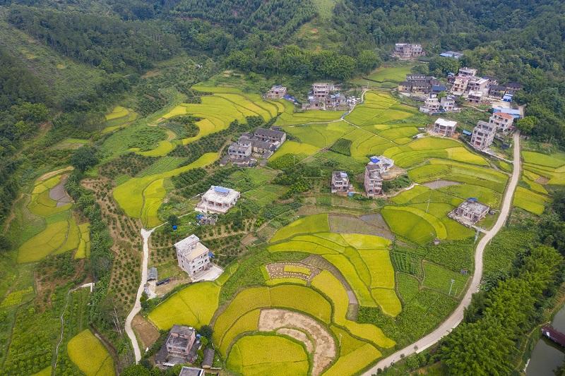 3、2021年7月3日,俯瞰广西梧州市长洲区倒水镇三贵村一带,金黄的稻田与青山和民房相互映衬,构成一幅美丽的夏日田园画卷,呈现出一片丰收的景象。