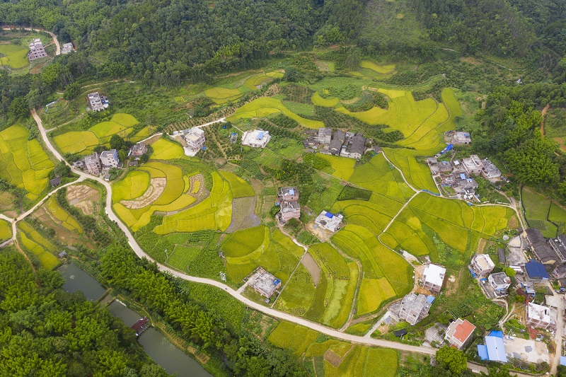 4、2021年7月3日,俯瞰广西梧州市长洲区倒水镇三贵村一带,金黄的稻田与青山和民房相互映衬,构成一幅美丽的夏日田园画卷,呈现出一片丰收的景象。