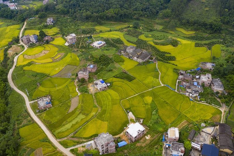 5、2021年7月3日,俯瞰广西梧州市长洲区倒水镇三贵村一带,金黄的稻田与青山和民房相互映衬,构成一幅美丽的夏日田园画卷,呈现出一片丰收的景象。