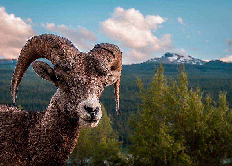 班夫国家公园内的大角羊