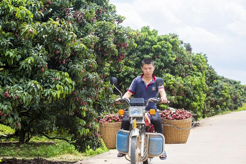 2、2021年7月7日,果农在广西梧州市苍梧县沙头镇横江荔枝园里用摩托车装运刚采摘的荔枝。