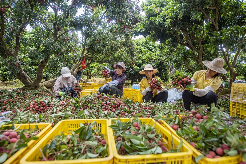 3、2021年7月7日,果农在广西梧州市苍梧县沙头镇横江荔枝园里整理荔枝。