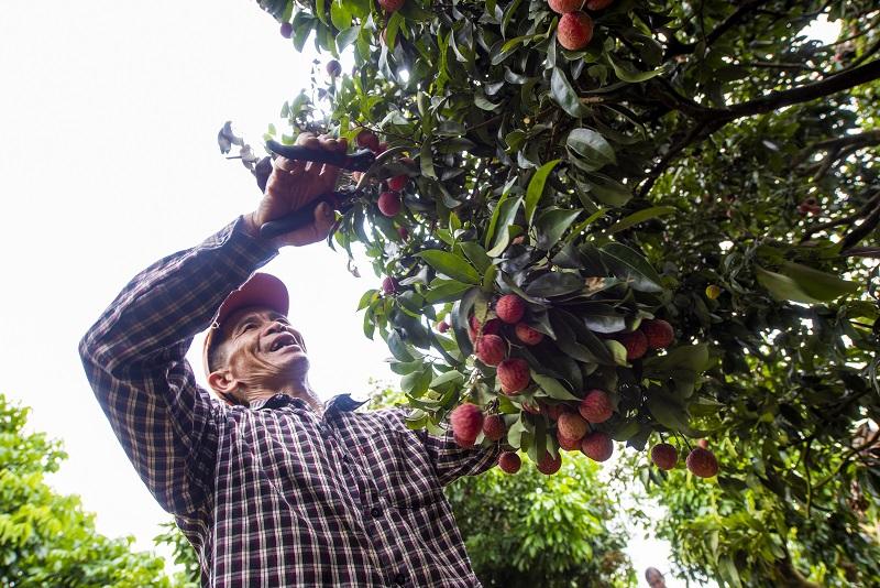 6、2021年7月7日,果农在广西梧州市苍梧县沙头镇横江荔枝园里采摘荔枝。