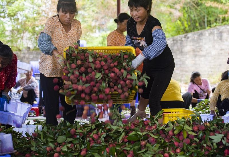 10、2021年7月7日,果农在广西梧州市苍梧县沙头镇横江荔枝园里整理荔枝。