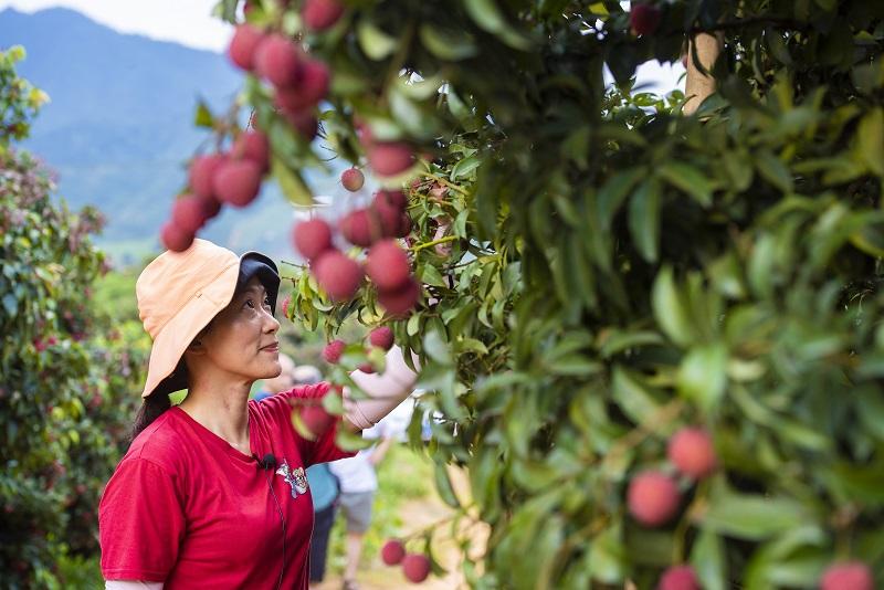 10、2021年7月7日,游客在广西梧州市苍梧县沙头镇横江荔枝园里体验采摘荔枝。