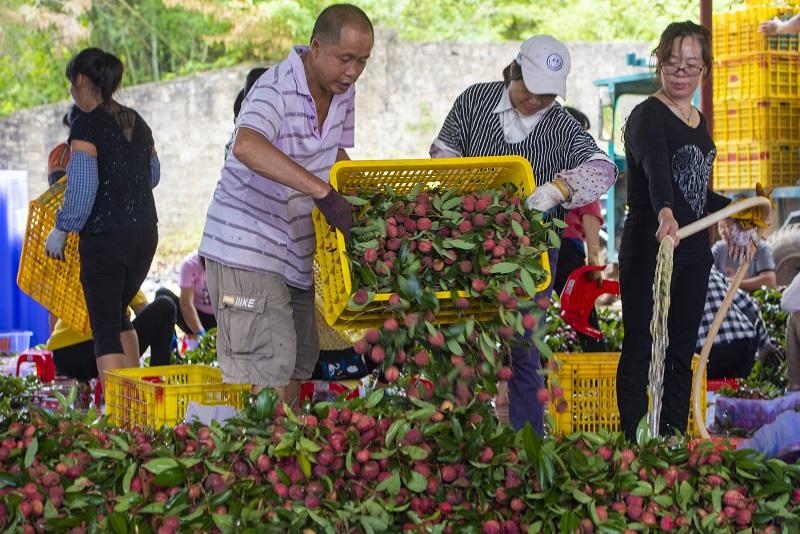 14、2021年7月7日,果农在广西梧州市苍梧县沙头镇横江荔枝收购点清洗整理准备外运的荔枝。
