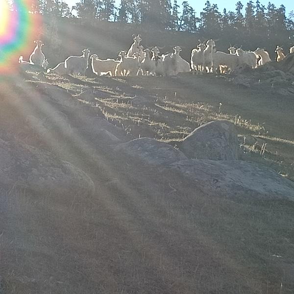 晨光下瞭望的山羊群