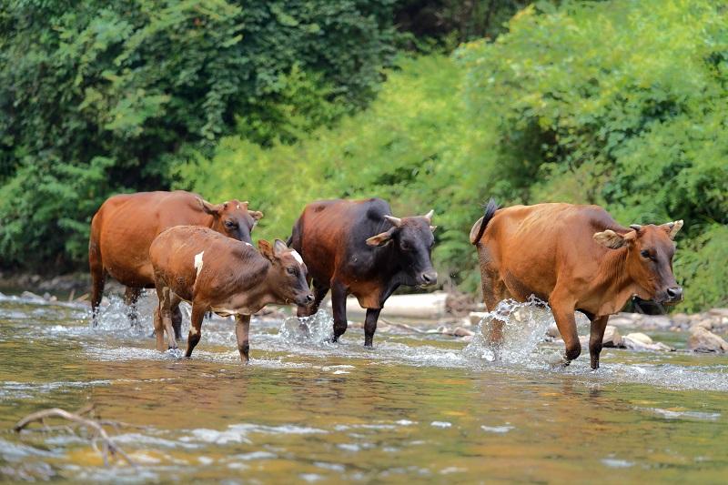 2021年7月22日,正值大暑头一天,贵州省从江县西山镇顶洞水库河段,一群小黄牛路过。 (1)