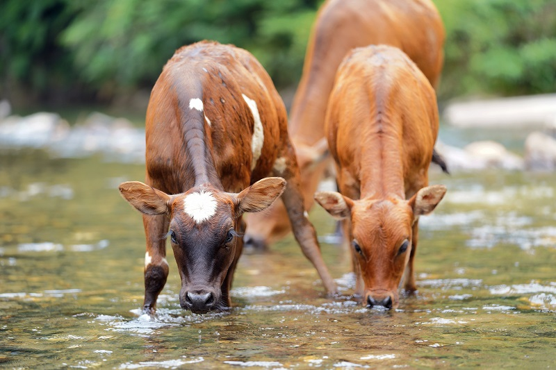 2021年7月22日,正值大暑头一天,贵州省从江县西山镇顶洞水库河段,一群小黄牛路过。 (3)