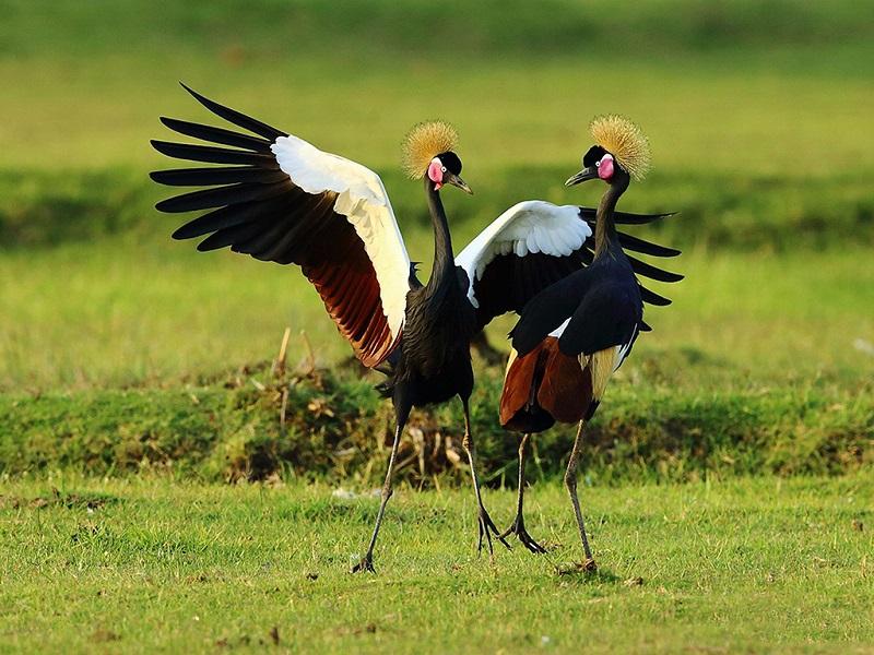 一对黑冕鹤跳起了求偶的舞蹈