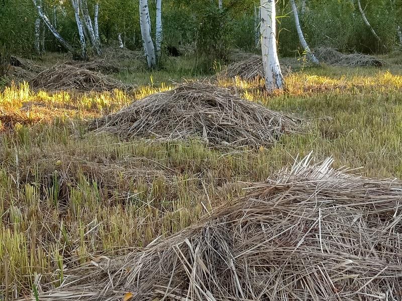 白桦林里晾晒的草堆