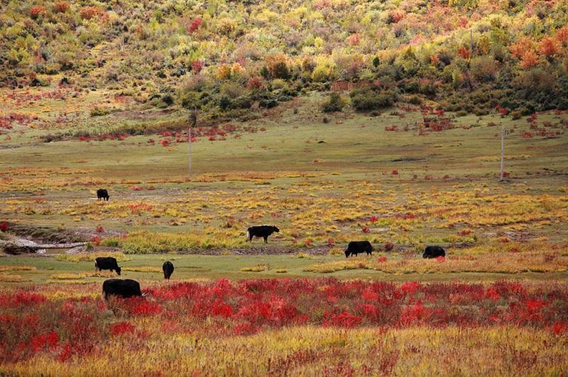 神山脚下的洛绒牛场