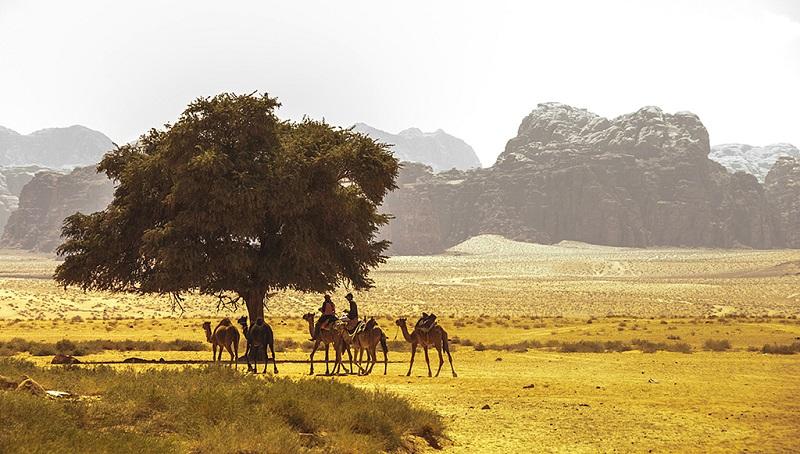 约旦荒漠骆驼风情