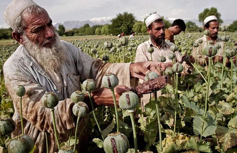 阿富汗所产的鸦片占全球总产量的85%