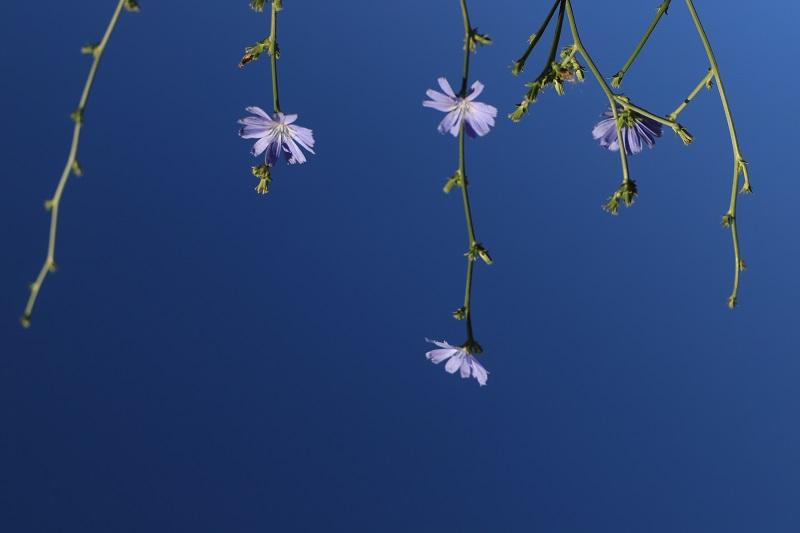 这是2021年8月23日在新疆阿勒泰地区阿勒泰市恰秀南苑拍摄的菊苣 (2)