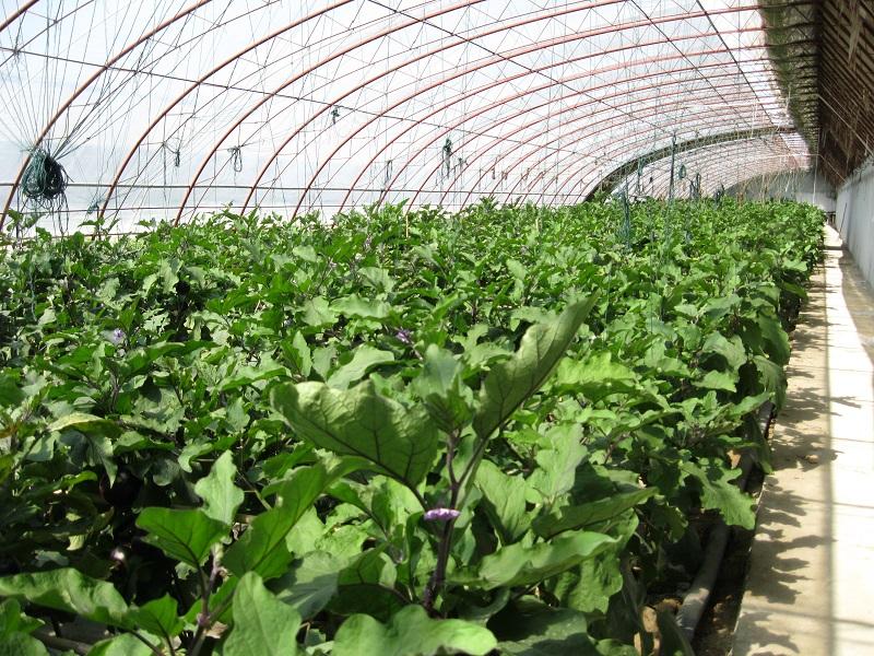 立秋过后,福海县现代农业科技示范园一处蔬菜大棚里长势良好的茄子 (2)