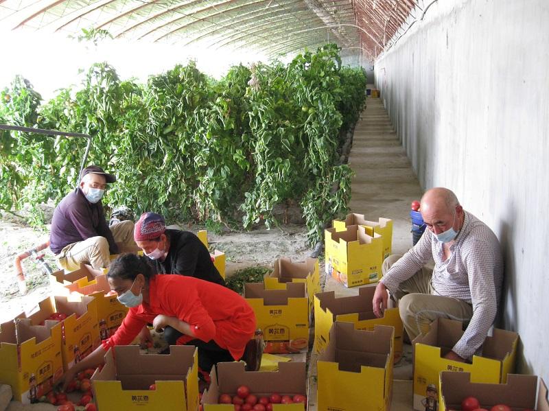 立秋过后,来自和田墨玉县的吾布力·乌布力喀斯木、巴伊麦罕·阿尤普夫妇与图荪托合提·图如普、图荪妮萨罕夫妇正在福海县现代农业科技示范园园区内的蔬菜大棚分拣刚收获的西红柿