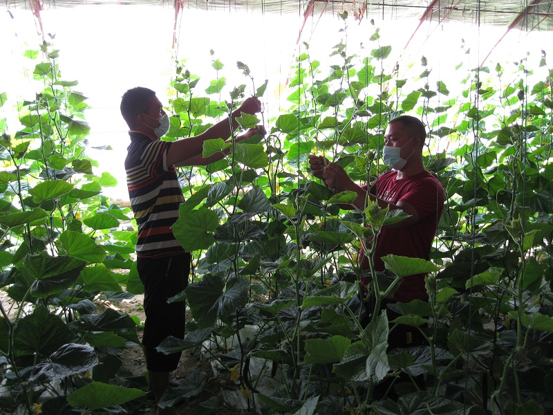 立秋过后,务工人员正在福海县现代农业科技示范园一处黄瓜大棚里打茬拉秧 (2)