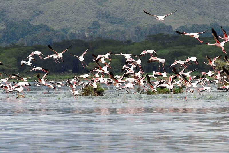 湖上的火烈鸟飞翔