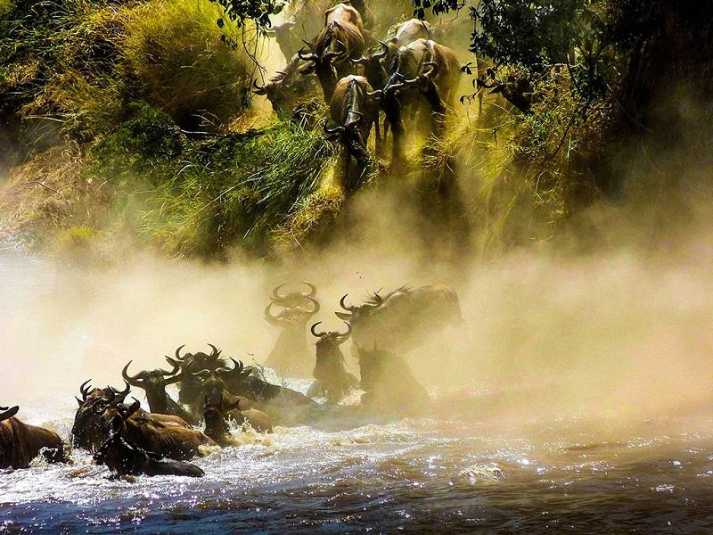 马塞马拉过河的角马群