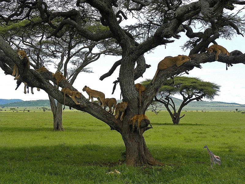 坦桑尼亚塞伦盖蒂公园内树上的狮子